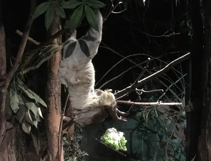 Sloth hanging food